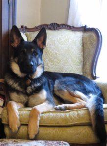 German Shepherd Puppies7