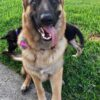 German Shepherd Puppies8