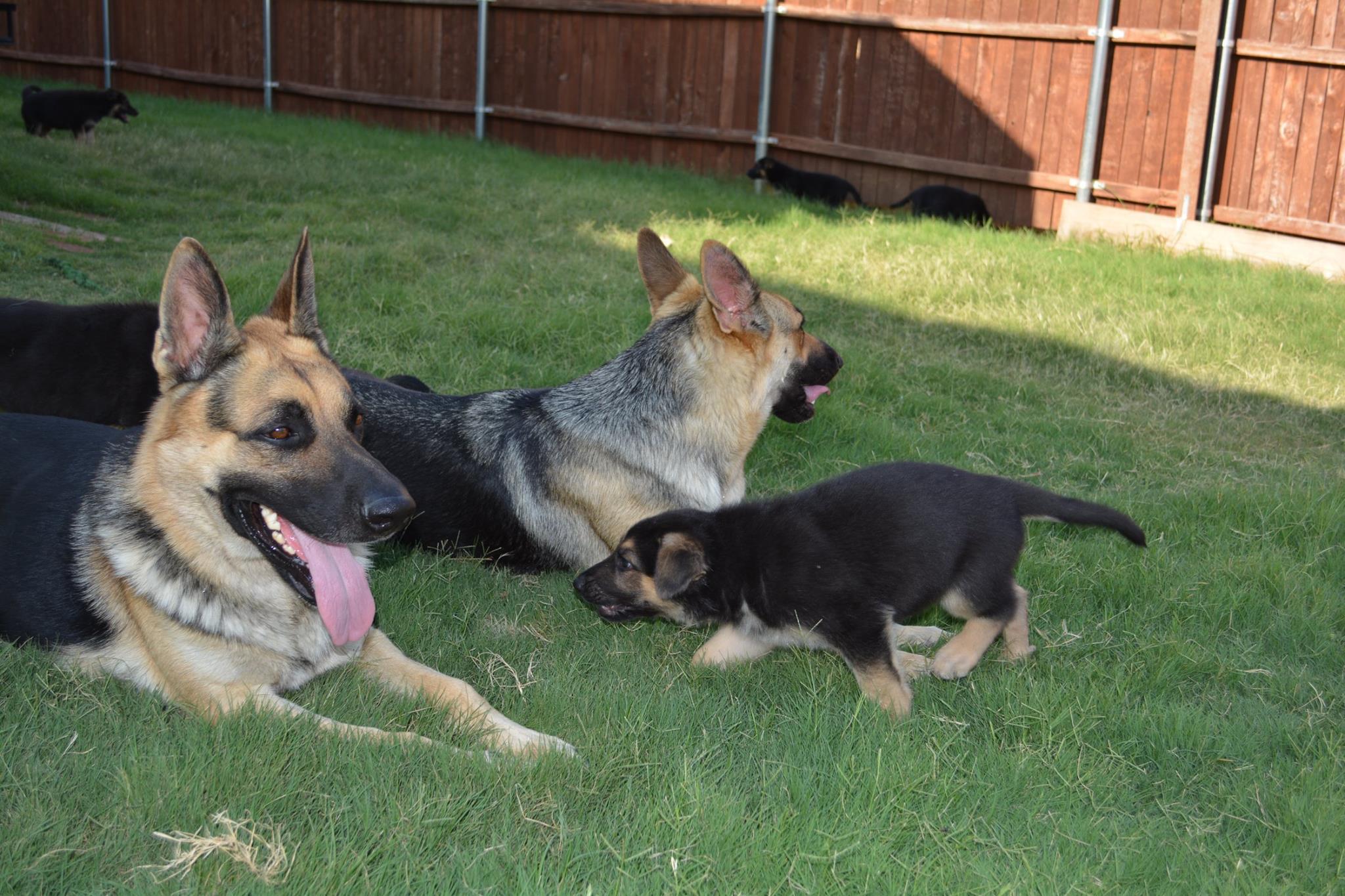Buy German Shepherd Puppies Online   In Denmark