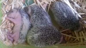Hedgehogs1