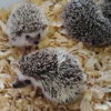 Hedgehogs4