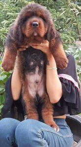 Tibetan Mastiff2