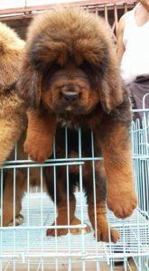 Tibetan Mastiff3