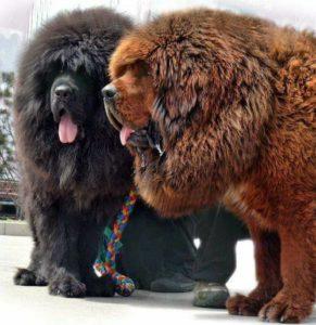 Tibetan Mastiff4