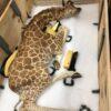 baby giraffe2