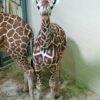 baby giraffe5