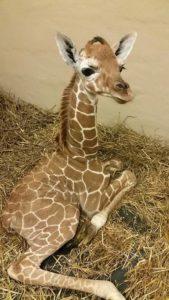 baby giraffe7