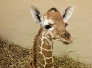 baby giraffe8