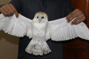 owl for sale2