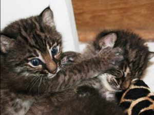Bobcat Kitten For Sale Online Buy Bobcat Kitten Online Bobcat Kitten