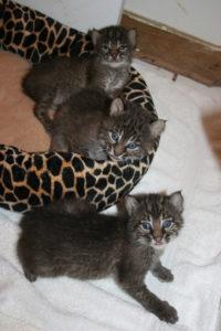 Bobcat Kitten3