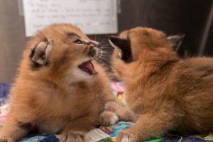 Caracal kitten1