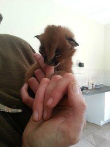 Caracal kitten5