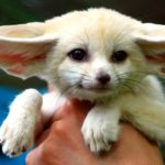 Fennec Fox Legal States and Care information