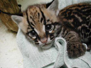 Ocelot Kitten1