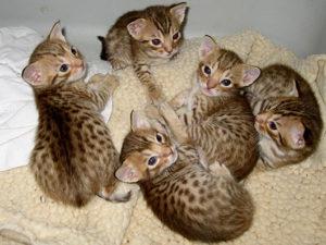 Ocelot Kitten12