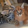 Ocelot kitten11