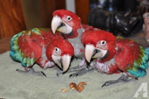 Baby Green Wing Macaw1