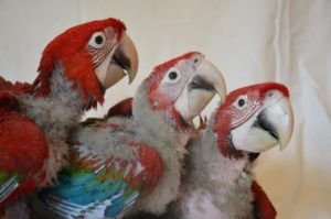 Baby Green Wing Macaw2