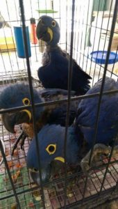Baby Hyacinth Macaw11