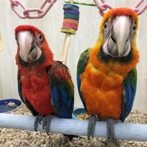 Camelot Macaw
