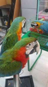 Catalina Macaw2