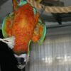Flame Macaw2