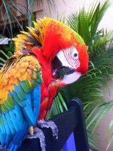 Flame Macaw3