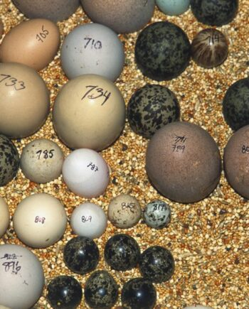 Green Wing Macaw Eggs