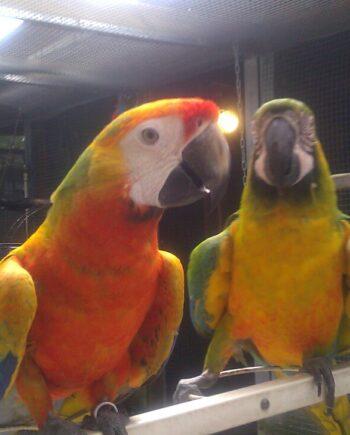 Tropicana Macaw