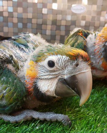 Baby Catalina Macaw