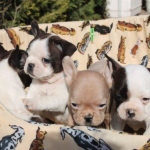 French Bulldog Puppies