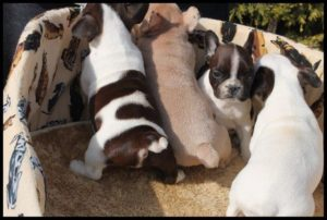 French Bulldog Puppies1
