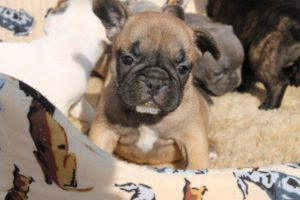 French Bulldog Puppies4