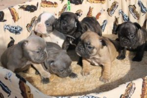 French Bulldog Puppies5