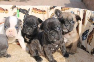 French Bulldog Puppies6