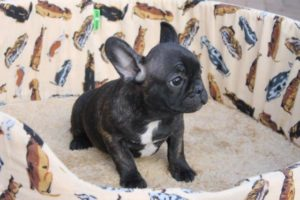 French Bulldog Puppies7