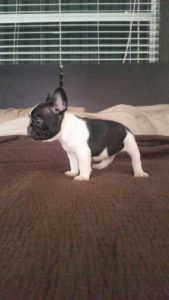 French Bulldog Puppies8