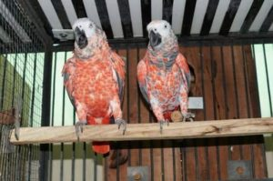 Red Factor African Grey Parrot