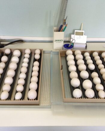 Red Factor African Grey Parrot Eggs