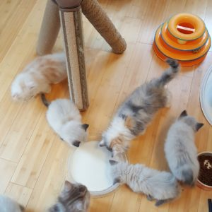 buy Scottish Fold Kittens online