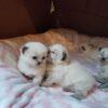 Scottish Fold Kittens2
