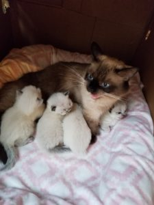 Scottish Fold Kittens3