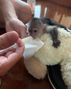 Capuchine